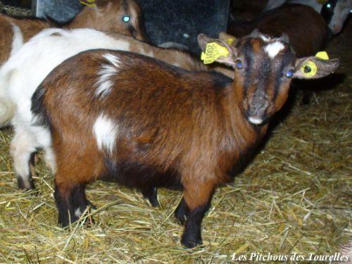 HEIDI - 38 cm à presque 18 mois (12 kg) - chèvre toy tricolore