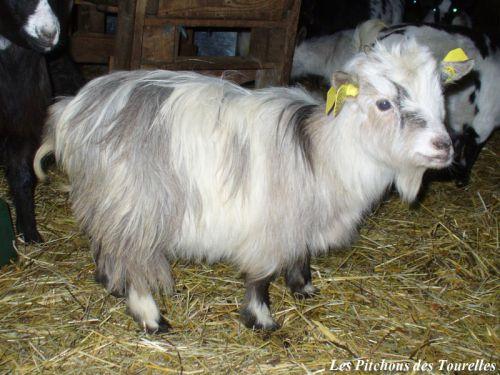 HERMIONE - environ 33 cm à 17 mois - chèvre toy quadricolore à poils longs