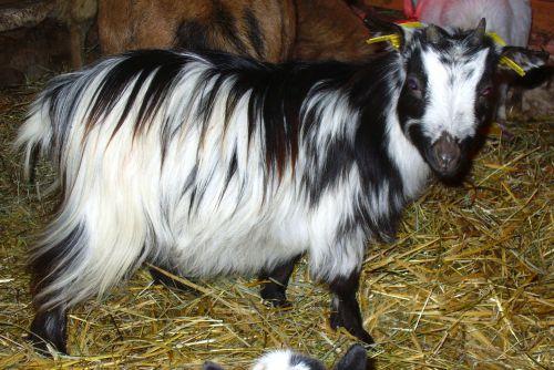 FLORIA - 32.5 cm à 18 mois / 36.5 cm à 31 mois - chèvre toy noire & blanche à poils longs :