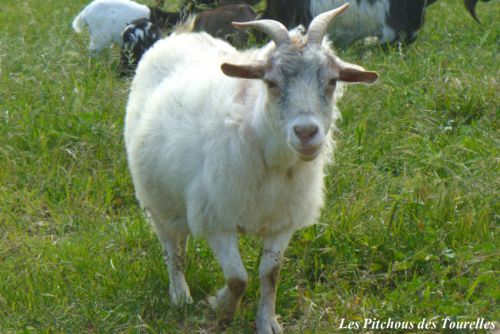 FRISETTE - 49 cm - chèvre naine angora blanche
