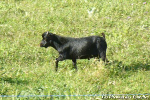 HECLAIR - 29 cm à 11 mois / 800 g à la naissance - bouc extra toy noir avec une étoile blanche sur la tête