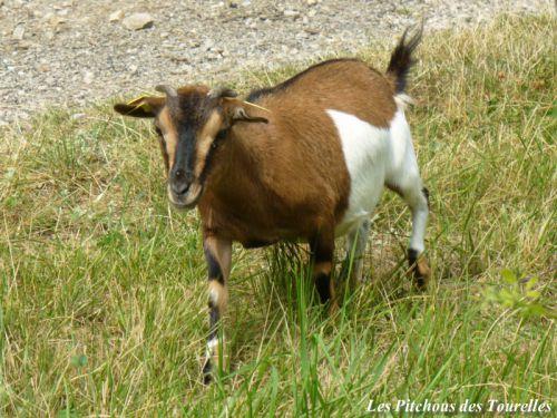 ETOILE - 37 cm - chèvre extra toy tricolore