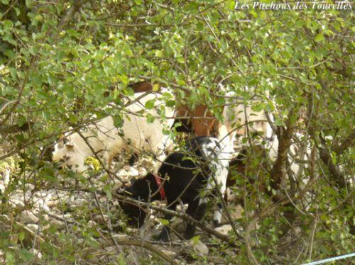 Mes minis en garrigue, vues au travers de la végétation