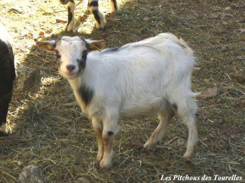 GLYCINE - 35 cm à 1 an - chèvre toy motte tricolore : blanche, grise et marron