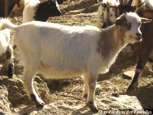 GLANA - 37 cm à 1 an - chèvre toy tricolore
