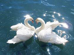 Swans Cygnus.jpg