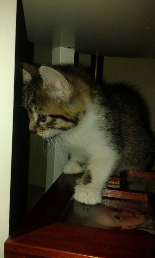 2eme chaton femelle mme segard.jpg