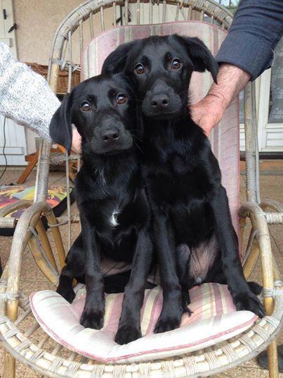 2 chiennes trouvées.jpg