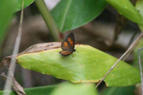 papillon réunionnais