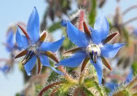 fleur bourrache.jpg