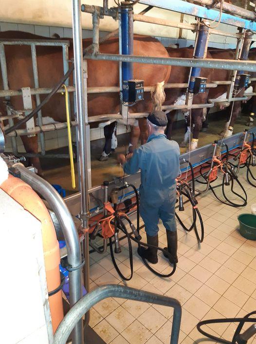 Les vaches arrivent en rang comme à l'école pour se positionner pour la traite avant de repartir à l'étable où elles ne sont pas attachées le soir et repartent au pré après la traite du matin Bugeac aout 2021.jpg