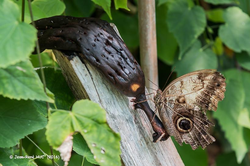 _JRH9171.Caligo eurilochus papillons hiboux.jpg