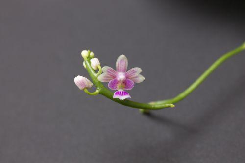 Phalaenopsis deliciosa