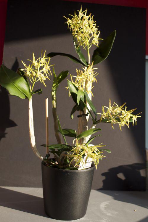 Dendrobium Yellow Winter