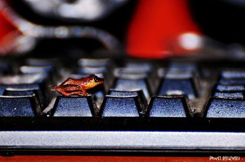 grenouille sur clavier