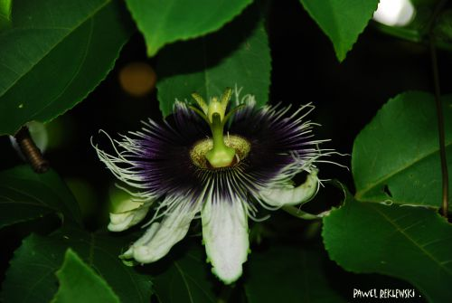 maracuja fleur