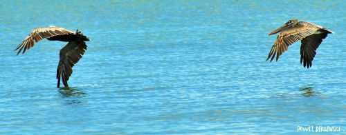pélicans aile dans l'eau