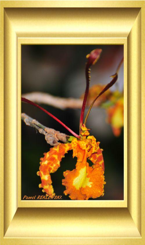 orchidée de Guadeloupe 1