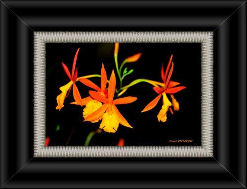 orchidée de Guadeloupe 2