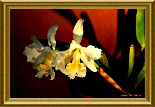 orchidée de Guadeloupe 3