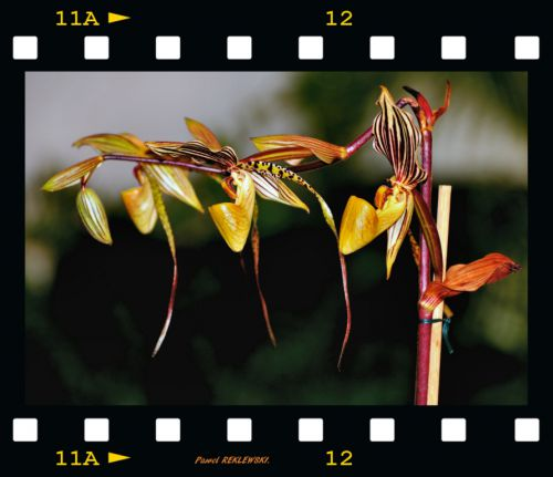 orchidée de Guadeloupe 4