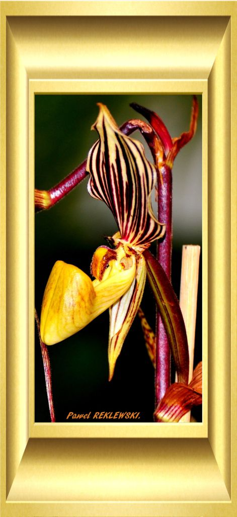orchidée de Guadeloupe 5