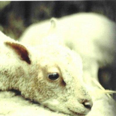 agneau calme.jpg