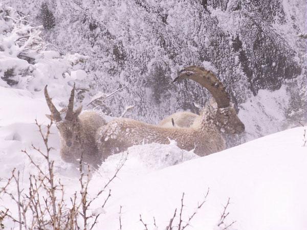 2012-12-ibex-hiver.jpg