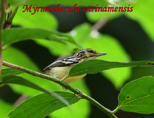 Myrmidon - Myrmotherula surinamensis.JPG