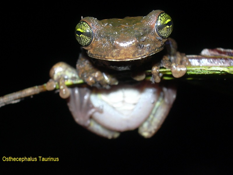 Osthecephalus taurinus (Guyane).JPG