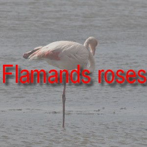 Flamand rose