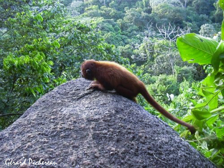 Jeune singe hurleur  (Alouatta seniculus) Guyane
