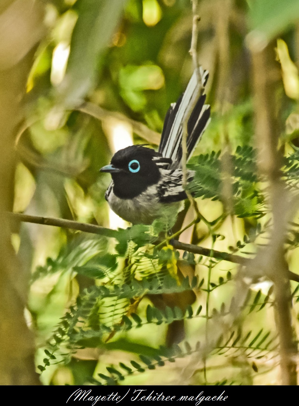 (Monarchidés) Tchitrec malgache  (Terpsiphone mutata)  (2)