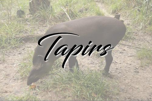 Tapiridé