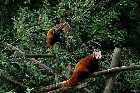 Duo Panda