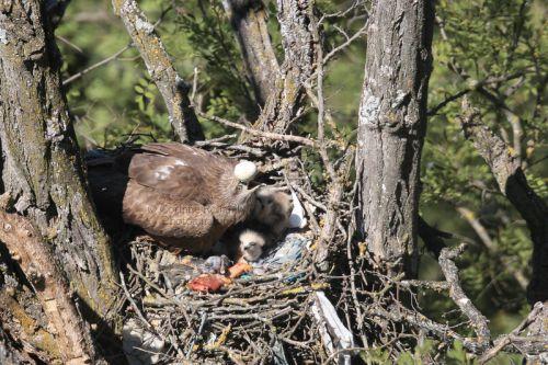 ... La femelle aide à la naissance des petits puis se débarrasse de la coquille d'oeuf comme on peut le voir ici.