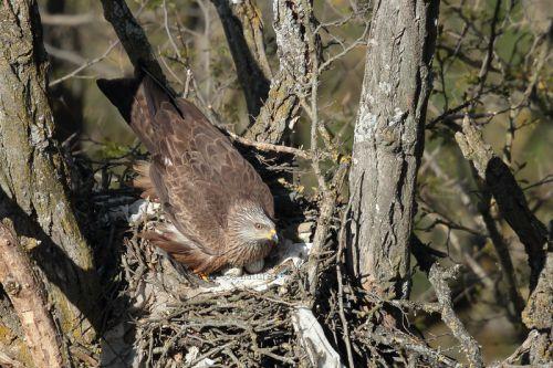 ... Très vite la femelle s'installera sur le nid et pondra de un à trois oeufs, qu'elle couvera avec soin, tout en étant régulièrement remplacé par le mâle, que l'on voit ici sur la photo, pour lui permettre d'aller manger, se dégourdir les ailes ou bien