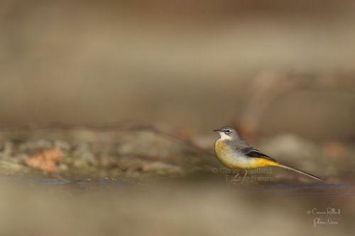 Bergeronnette des ruisseaux ( Motacilla cinerea )