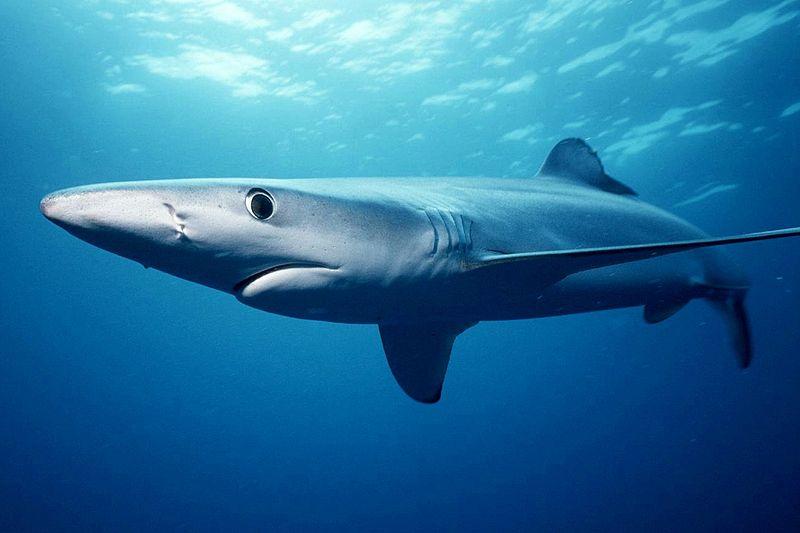Requin Bleu, Requin Taupe, très présent sur les côtes est certainement impressionnant quand il est à proximité d'un plongeur ou baigneur, mais inofensif et protégé.