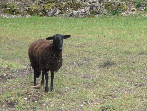 Mouton noir du Velay