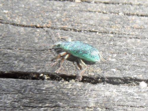 Monilis interpositus