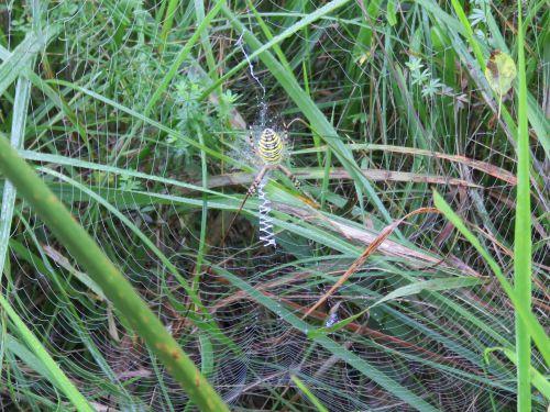 Araignée l'épeire faciée ( femelle )
