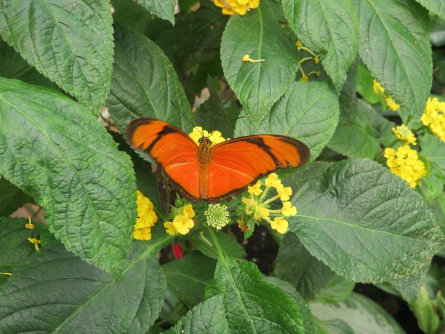papillon Dryas julia