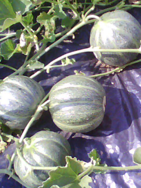 melon vert grimpant  2010 vers Morteau  (haut-doubs)25