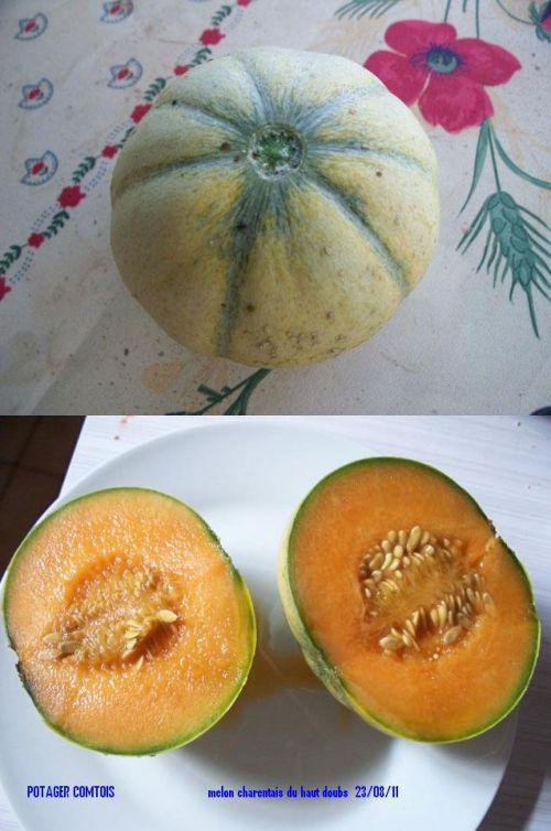 récolte melon charentais