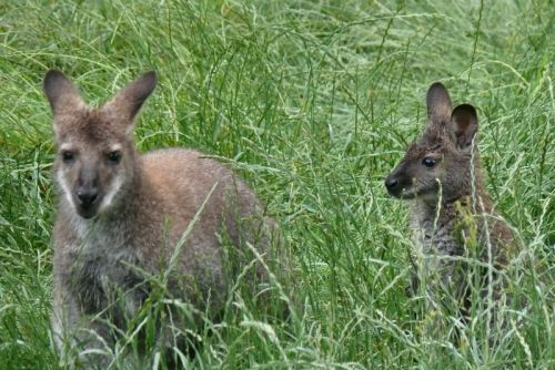 Skipy le wallaby avec sa petite compagne