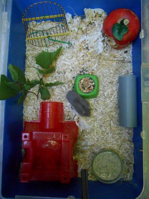 Logement hamsters nains