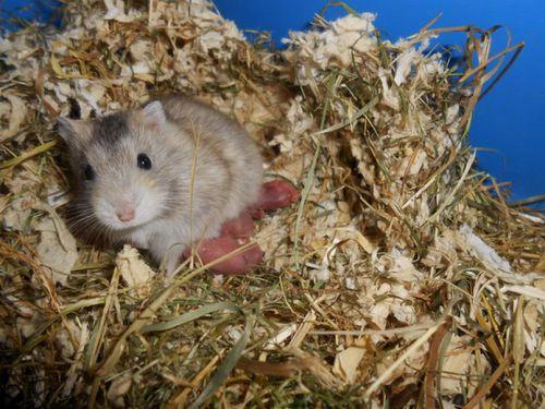 5 bébés hamsters nains