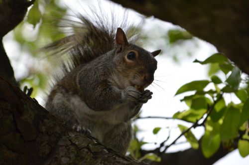 Ecureuil de Central Park NYC