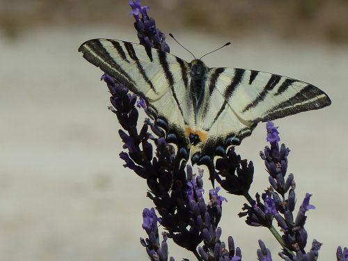 Papilon lavande 2